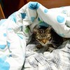 happy cat under blankets