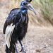Small photo of Abyssinian Ground Hornbill
