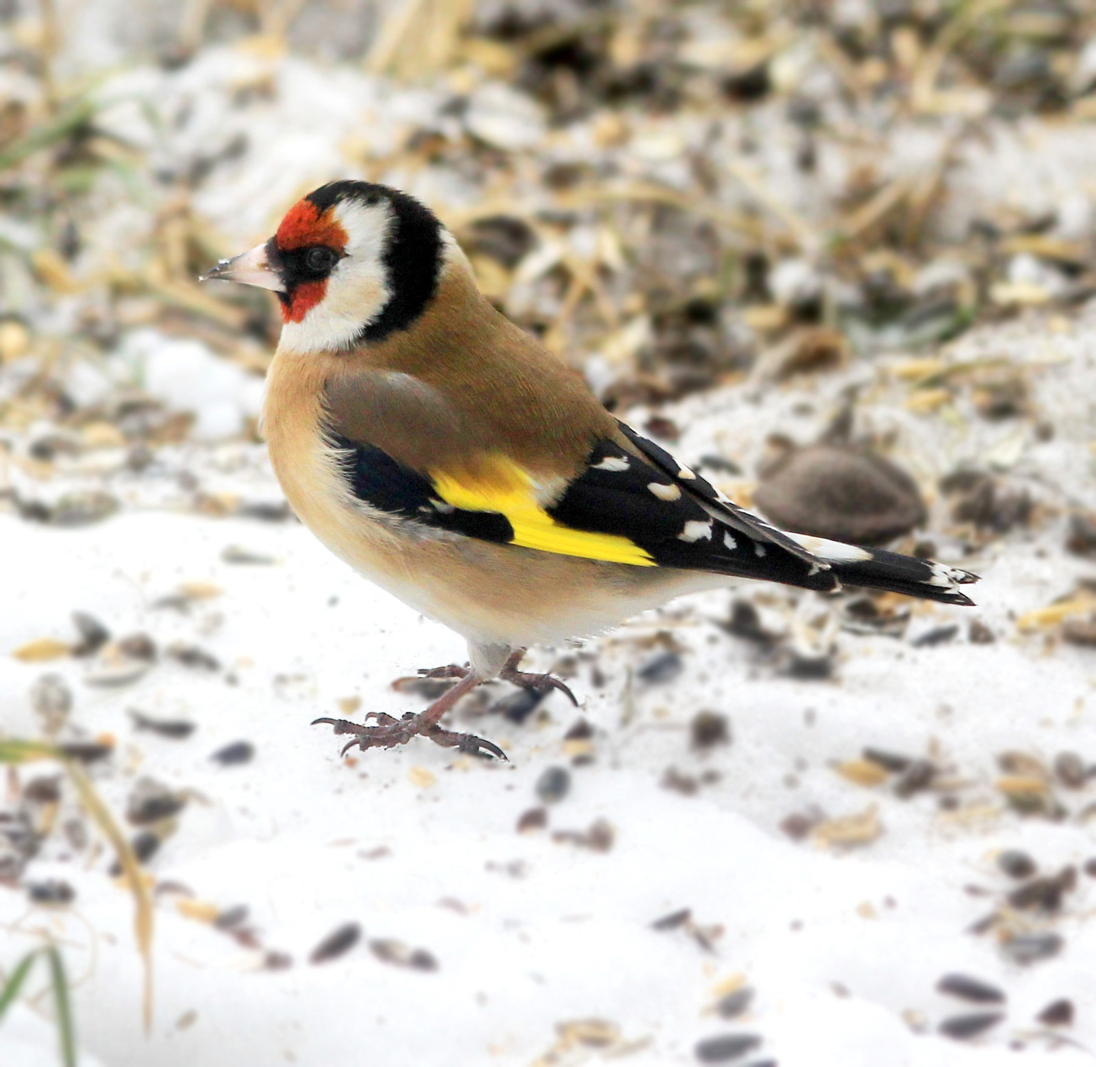 Goldfinch. Credit Karelj