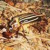 June june bug