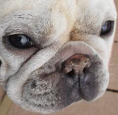 dog breed, nose, animal, dog, old english bulldog, pet, olde english bulldogge, snout, toy bulldog, french bulldog, close-up, carnivoran, bulldog,