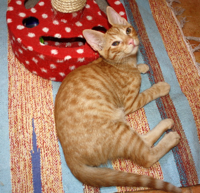 Jerry, gatito rubio guapo muy dulce y bueno, esterilizado, nacido en Abril´15 en adopción. Valencia. ADOPTADO. 19817252560_649ca7e37e_z