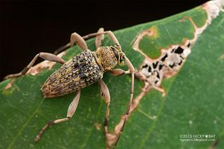 Longhorn beetle (Nedine adversa) - DSC_6150