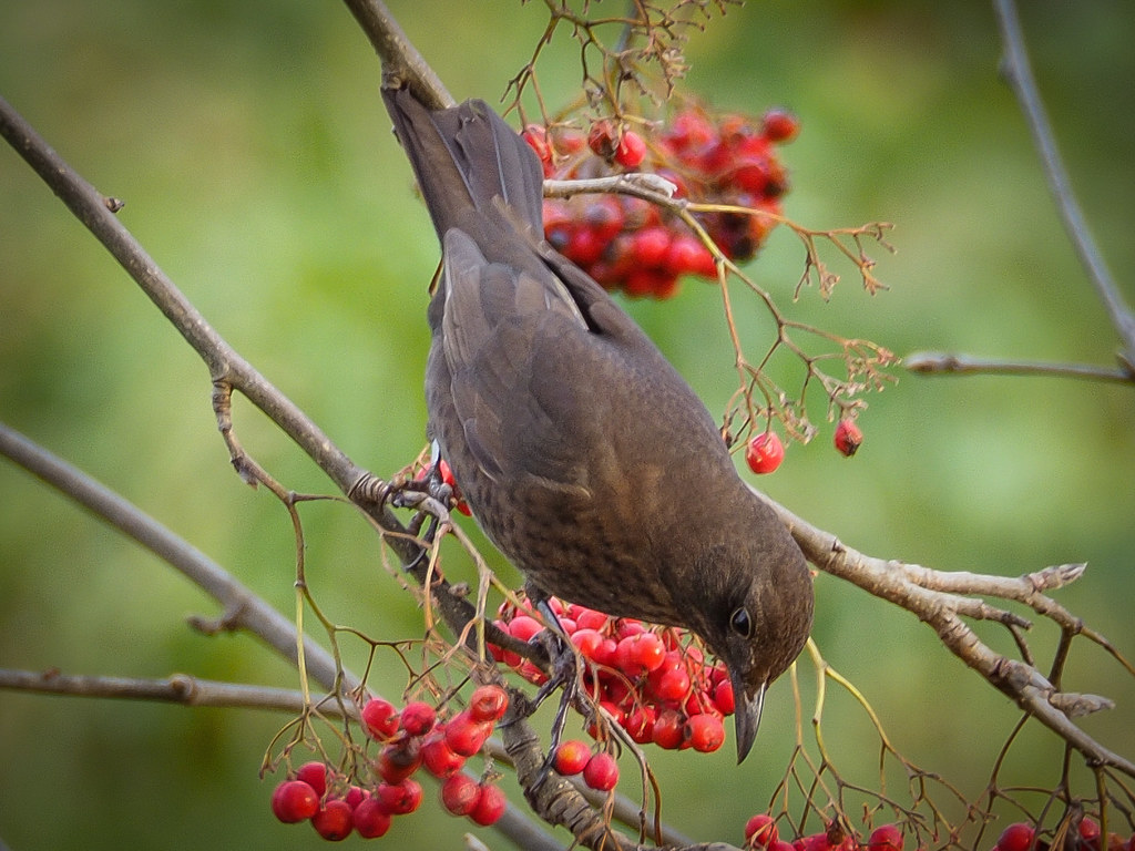 Thrush with Berries