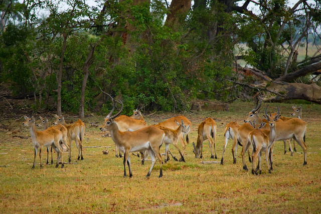 Herd of Reedbuck