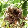 Pequeno ninho de pardal em um arbusto de boldo. #ninho #pardal #birdsnest #nest #sparrow