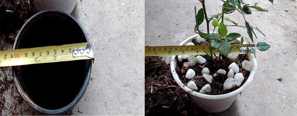 Chậu mới để thay cho cây hoa hồng, nên có đường kính lớn hơn chậu cũ khoảng 5cm