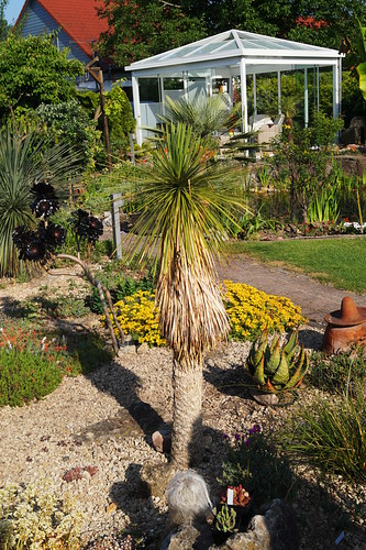 Yucca linearifolia Clary 1995 (green form)