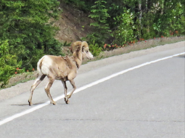 Bighorn Sheep in Road 4-20150619
