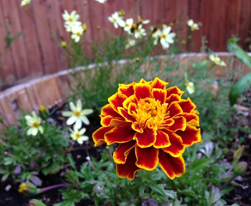 A perfect marigold.