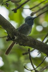 Blue Paradise Flycatcher fem - Palawan - Philippines_H8O0528