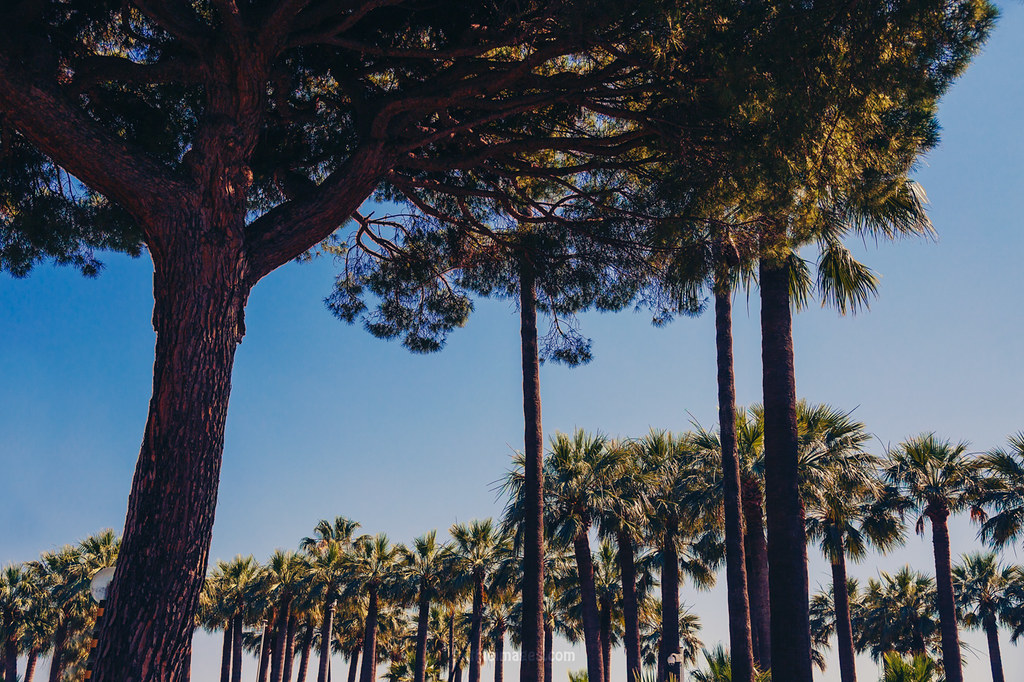 Multitude of palm trees