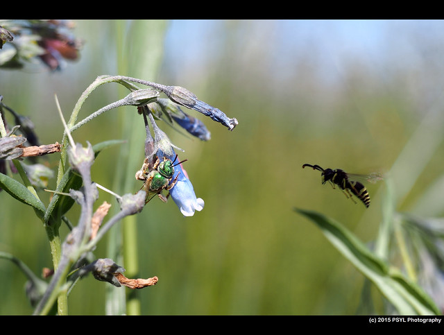 Bee robbing flower nectar & wasp fly-by