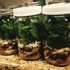 Chicken & spinach & grape & walnut salad jars for Lydia's field lunches this week