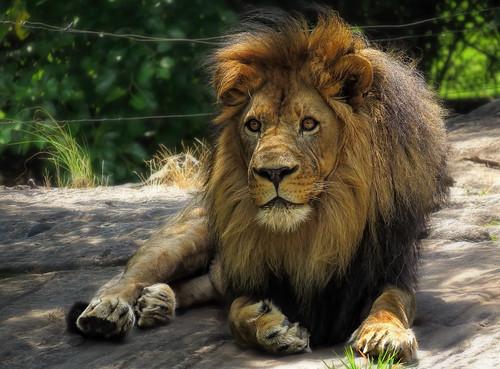 Lion at Bronx Zoo