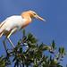 Cattle egret by marj k