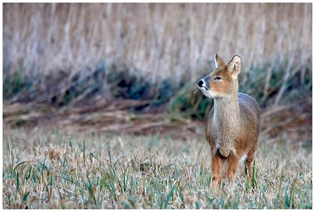 Chinese Water Deer.
