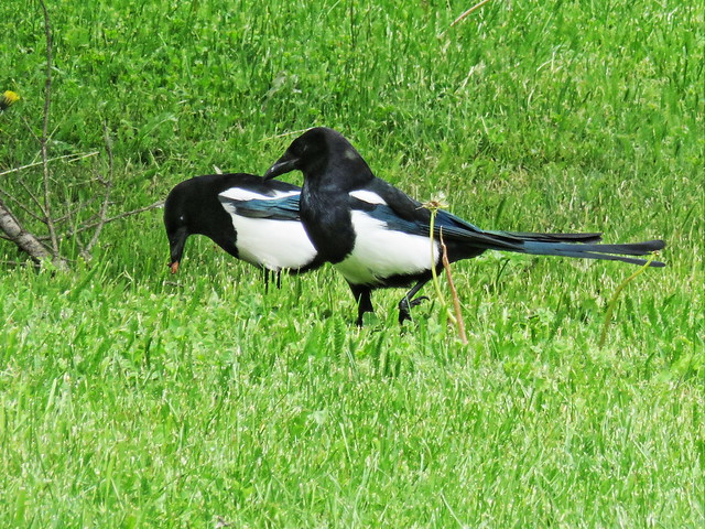 Black-billed Magpies 20150618