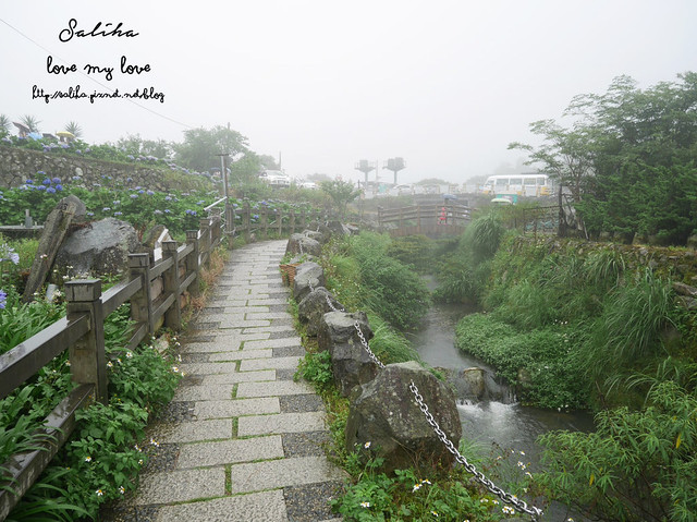 陽明山竹子湖免費繡球花愛情花 (4)