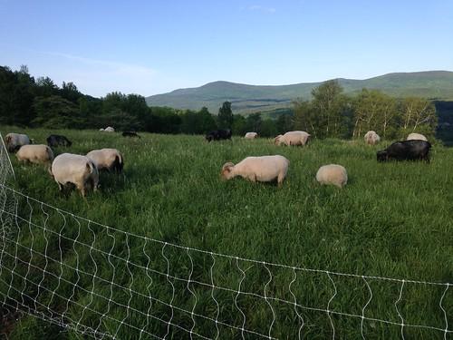 Icelandic sheep at Knoll Farm