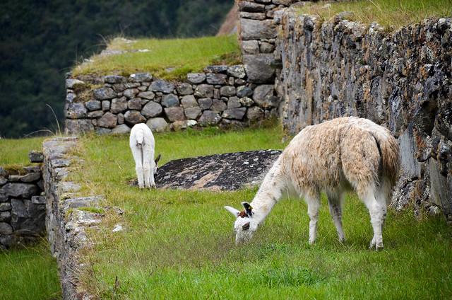 Llamas pastando en las terrazas de Machu Picchu