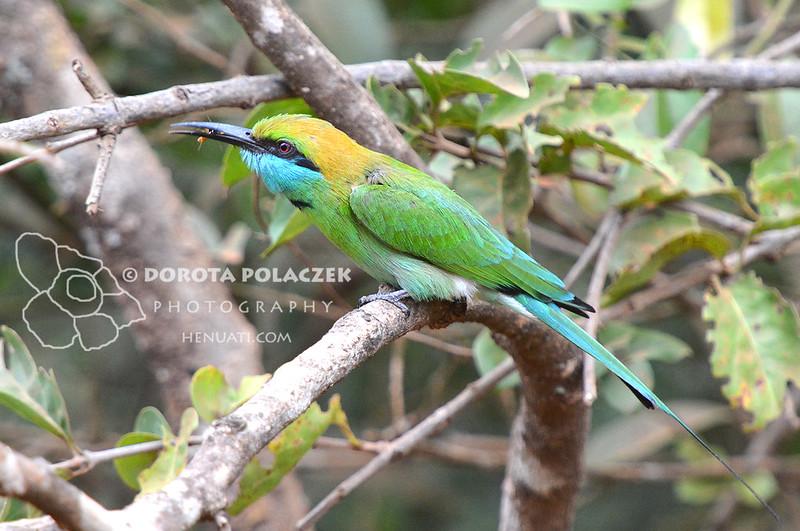 Green bee-eater (Merops orientalis)