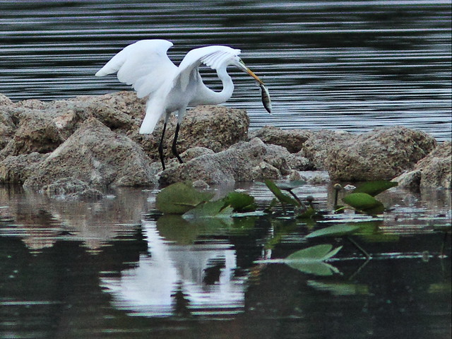 Great Egret with fish 20150802