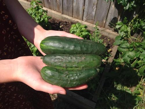 Cucumbers, yum!