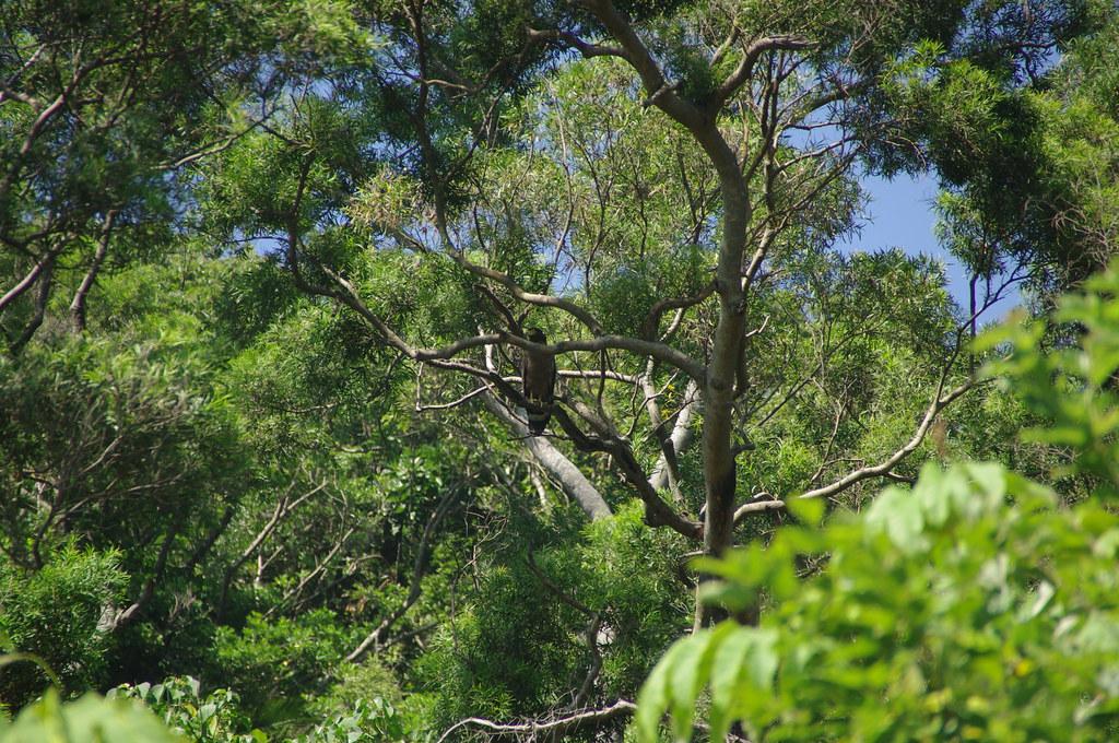 在學田後方的次生林中拍攝到正昂然立於林間的大冠鷲。