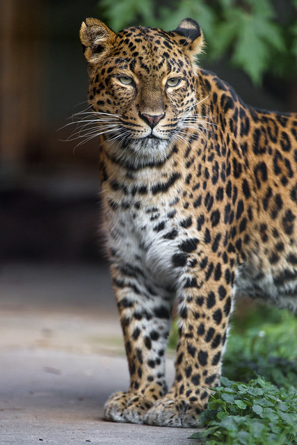 Cute and attentive Chinese leopard