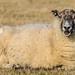 Sheep Personalities (2 of 4)