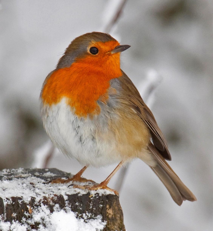 Robin. Credit Tony Hisgett