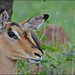 Red-billed Oxpecker & Impala. by LC's Eye (Wild Images of Africa)