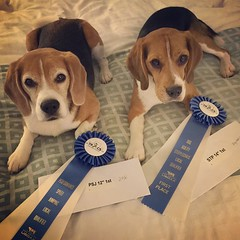 Can't miss celebrating Dax's first PSJ Q! And 1st place to boot!! Both beagles won round 1 then they both won round 2! To convince them to run that late in the day when it was over 100F, I told them they could buy as many hamburgers as they wanted with th