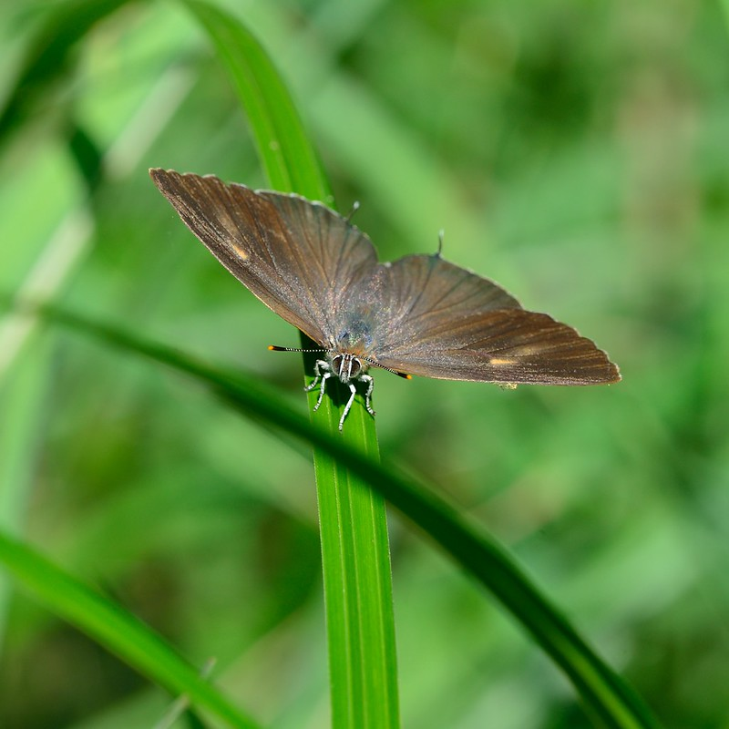 Neozephyrus japonicus / The Green Hairstreak (Type-A)