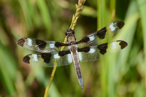 insect illinois dragonfly markham twelvespottedskimmer gensburgmarkhamprairie