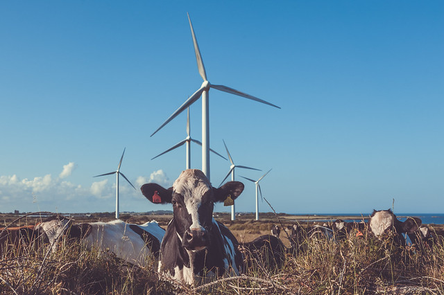 Wind farm cows
