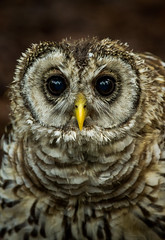 Barred Owlet Portrait