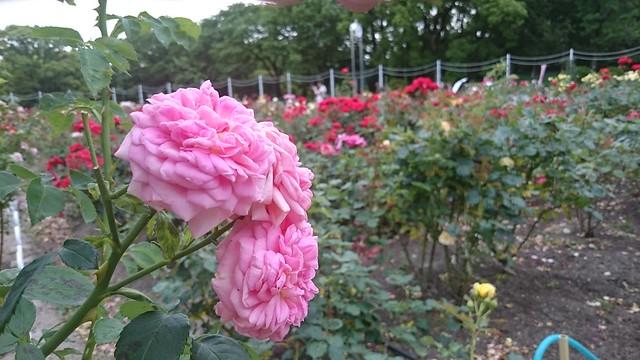 鶴舞公園 バラ園