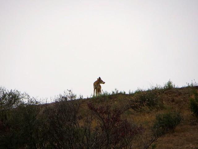 coyote on the ridge