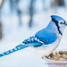 Fall into Winter - Equinox to Solstice #89 - Blue Jay