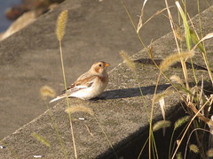 Snow Bunting, Mosquito Lake, Trumbull Co., OH 10/31/2016