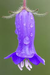 Wild Canterbury Bell (Phacelia minor)