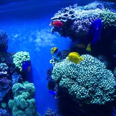 deep sea fish(0.0), coral reef(1.0), coral(1.0), fish(1.0), coral reef fish(1.0), organism(1.0), marine biology(1.0), stony coral(1.0), natural environment(1.0), underwater(1.0), reef(1.0), pomacentridae(1.0), aquarium(1.0),