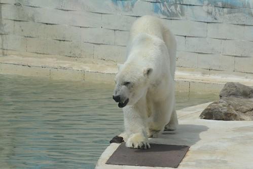 Eisbär Rocky in der Monde Sauvage Aywaille