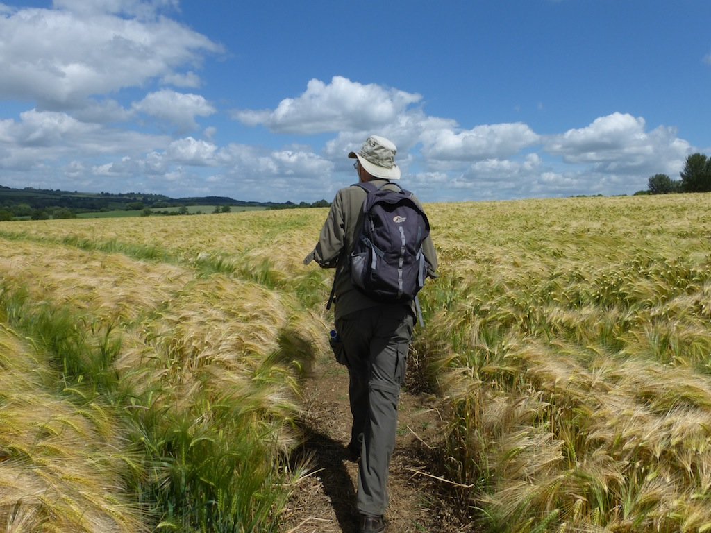 Crossing a barley field Moreton-in-Marsh Circular
