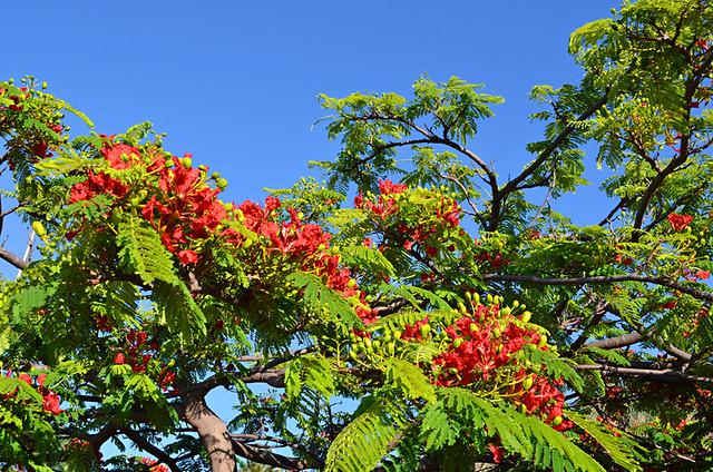 Flamboyant tree, Puerto de la Cruz, Tenerife