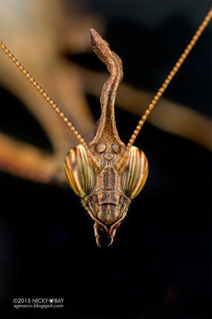 Bark horned mantis (Ceratocrania sp.) - DSC_4091