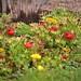 Moss Roses (Van Gogh)