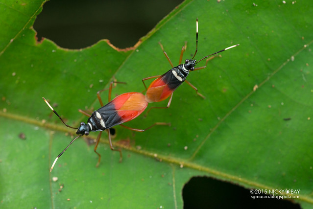 Red bugs (Pyrrhocoridae) - DSC_5589